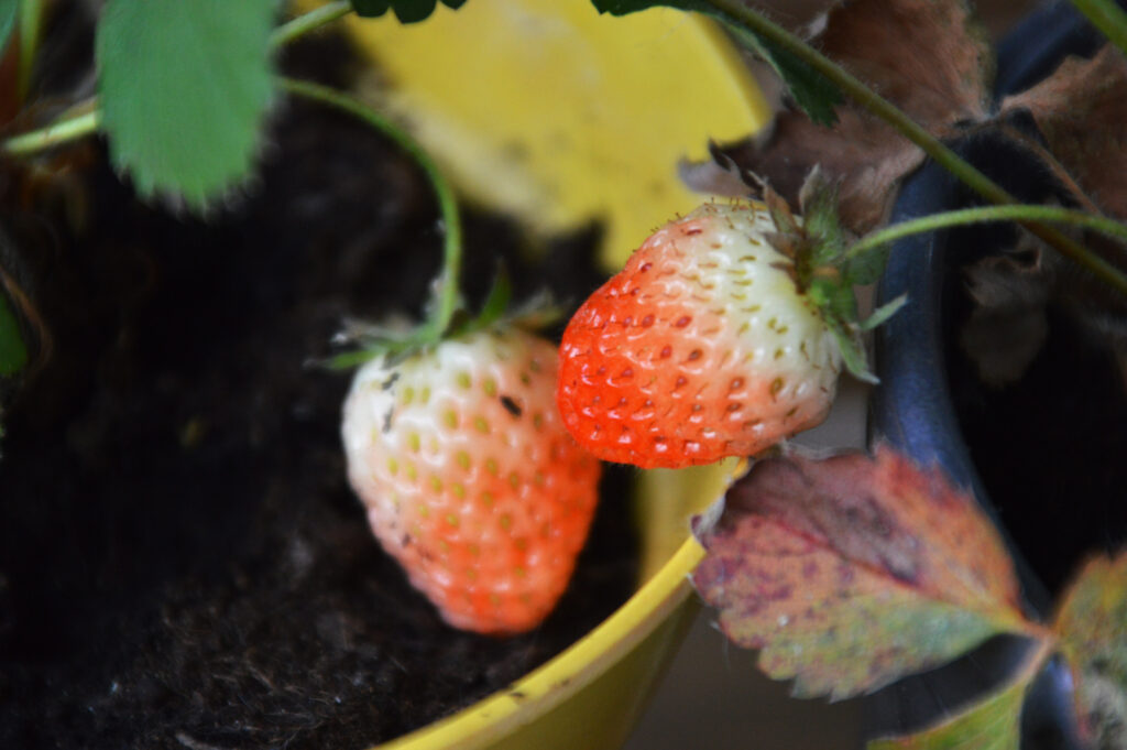 Two ripening strawberries
